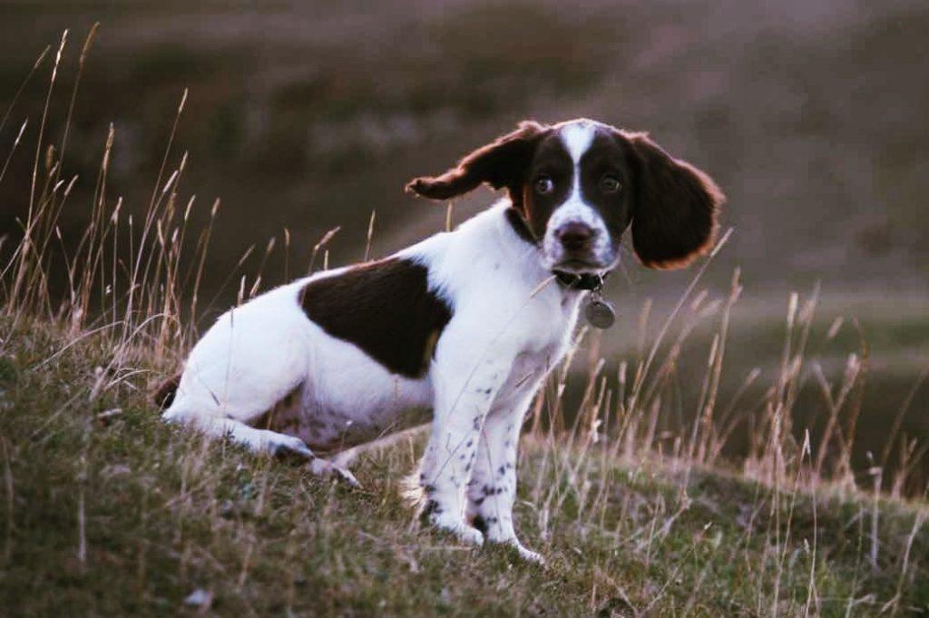 Welsh-Springer-Spaniel-puppy